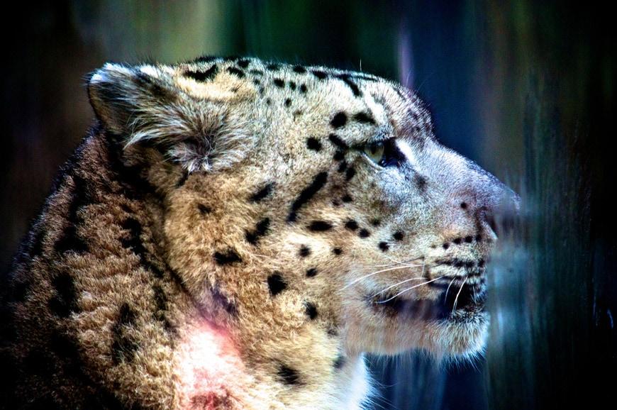 Leopard Zoo Paris Jardin des Plantes Grand Gallery Paris Jardin des Plantes