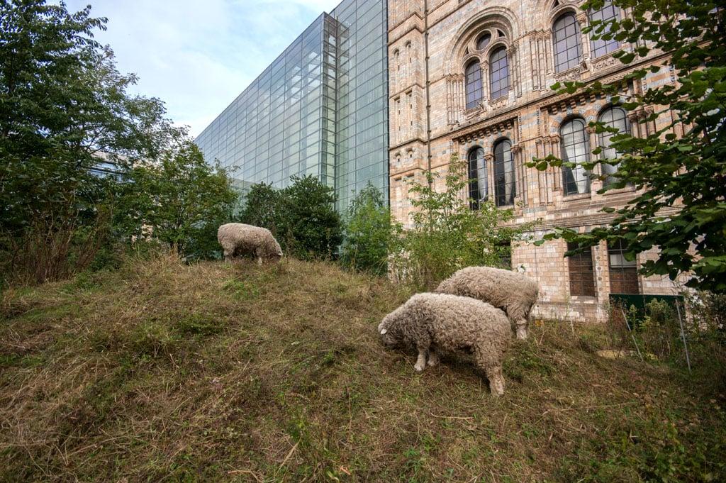 Natural-History-Museum-London-garden-sheep-Inexhibit