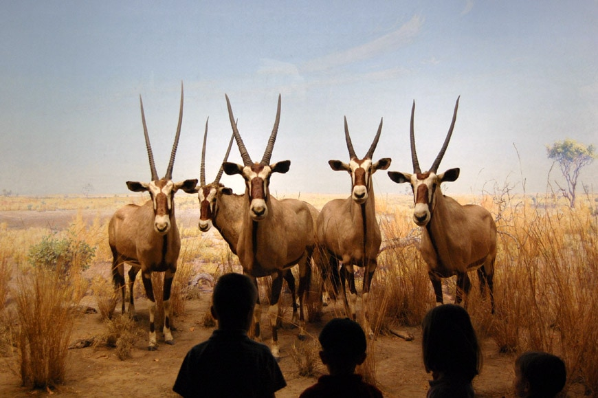 African gemsbok antelopes diorama American Museum of Natural History New York