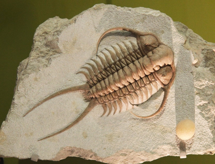 Trilobite Smithsonian National Museum of Natural History Washington DC