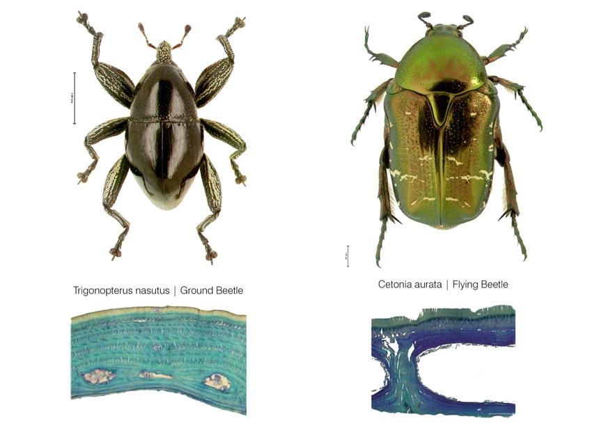 Elytra-filament-pavilion-V&A museum-comparision beetle