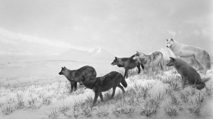 Fondation-Cartier-orchestre-des-animaux-Alaskan Wolves